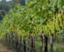 Maui's Winery  Vineyard