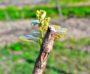 Vineyard Pruning in Maui